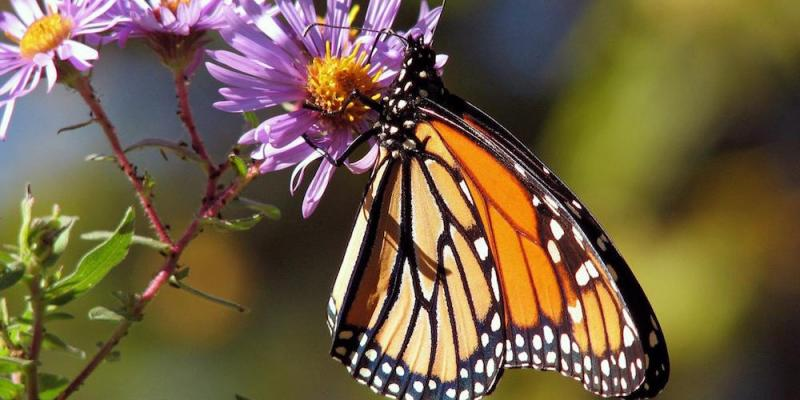 Monarch butterfly sitting on flower