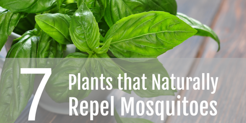 7 Plants that Naturally Repel Mosquitoes